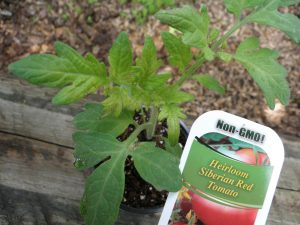 Siberian Tomato